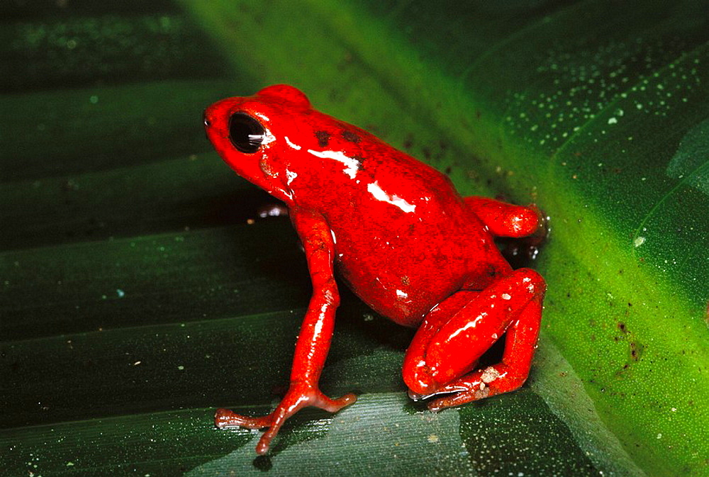 Red and black poison dart frog