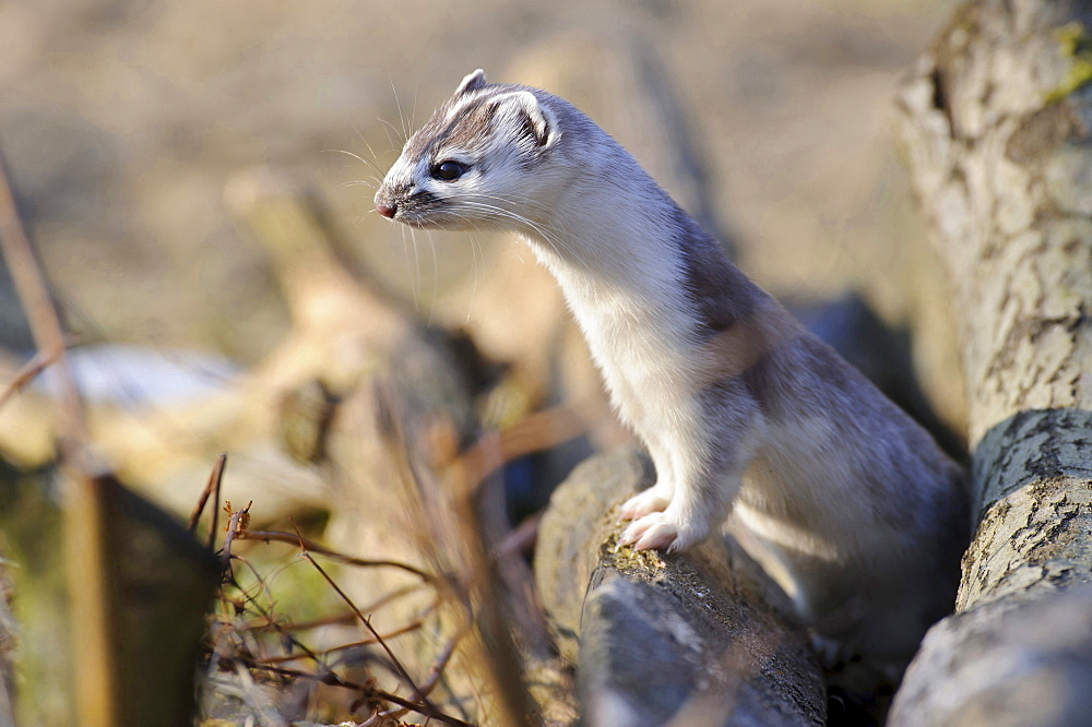 Stoat videos photos and facts  Mustela erminea  Arkive