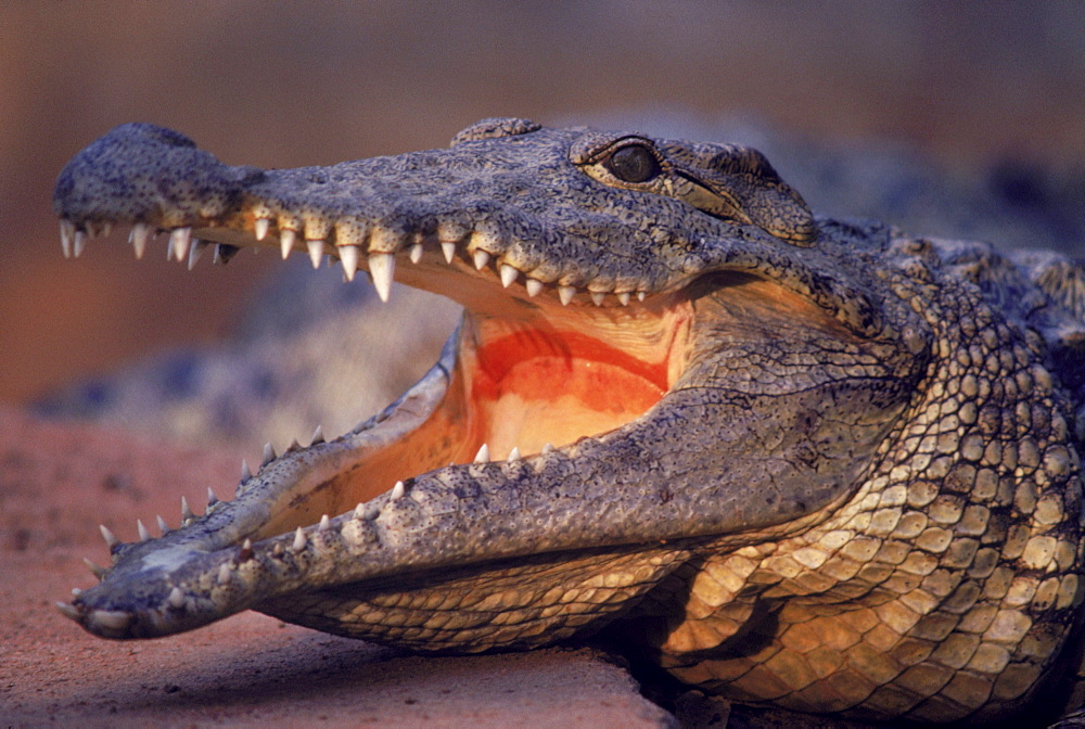 A crocodile displays his teeth on the banks of the Nile River in Sudan.