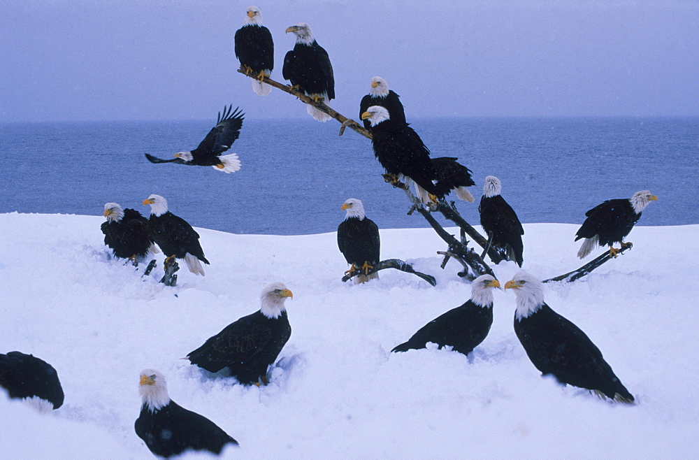 Bald eagles (Haliaeetus leucocephalus) gather to await the Eagle Lady's handouts on the snowy beach at Kachemak Bay, Alaska.
