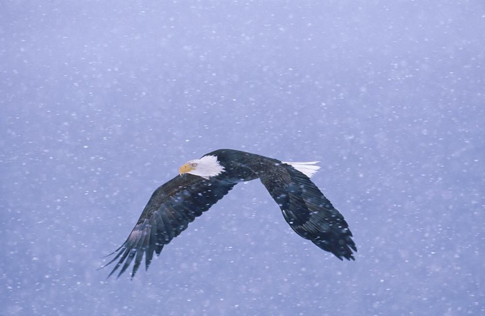 A bald eagle (Haliaeetus leucocephalus) flies through a snowstorm.