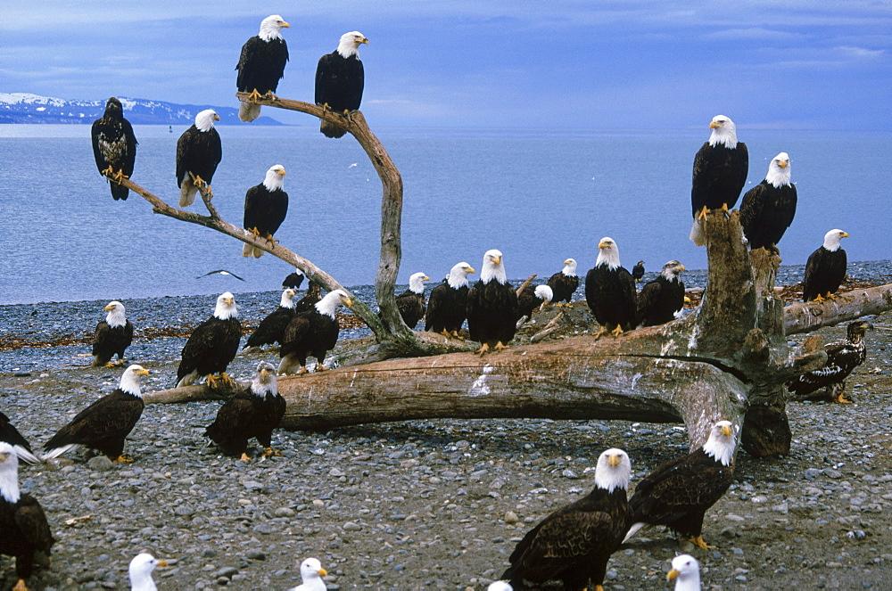 A council of eagles (Haliaeetus leucocephalus) perches on driftwood along the pebbly shore of Alaska's Kachemak Bay.