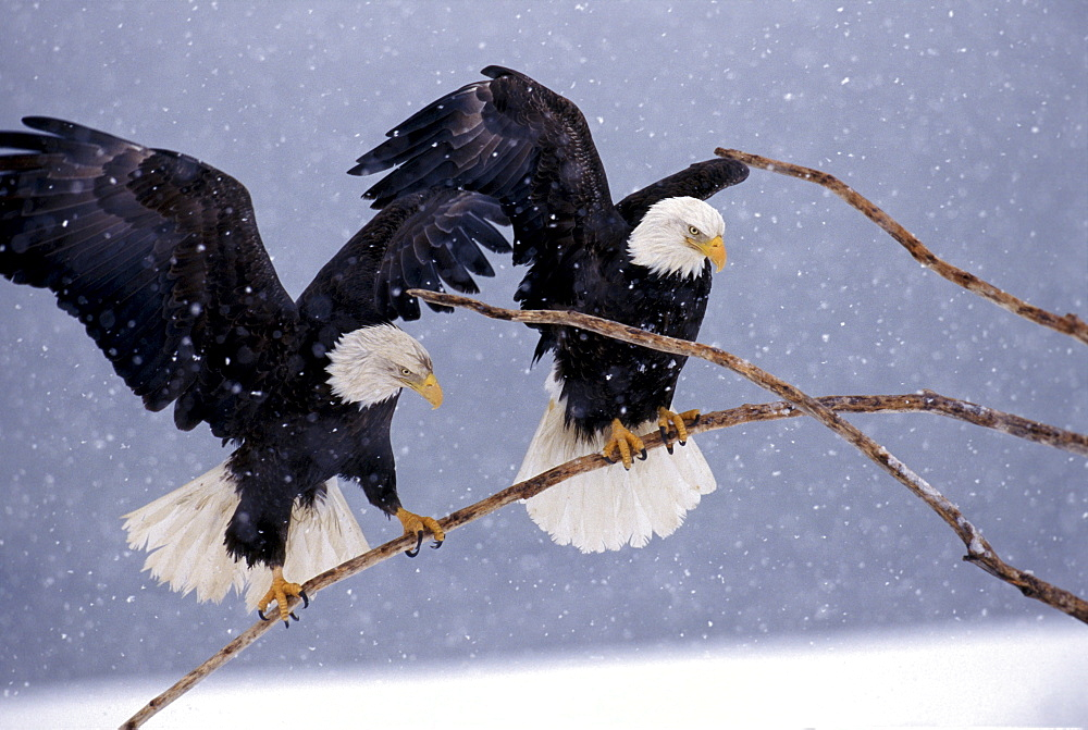 A pair of bald eagles flutters to balance on a branch during an snowstorm on Alaska's Homer Spit.