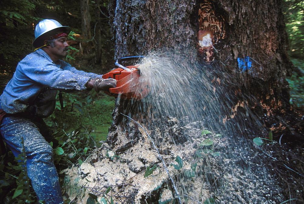 Timber sale, Powers district, Siskiyou National Forest, OR. Head feller Terry K. Blair cutting down a 4ft. 7 in. diameter Douglas Fir tree.
