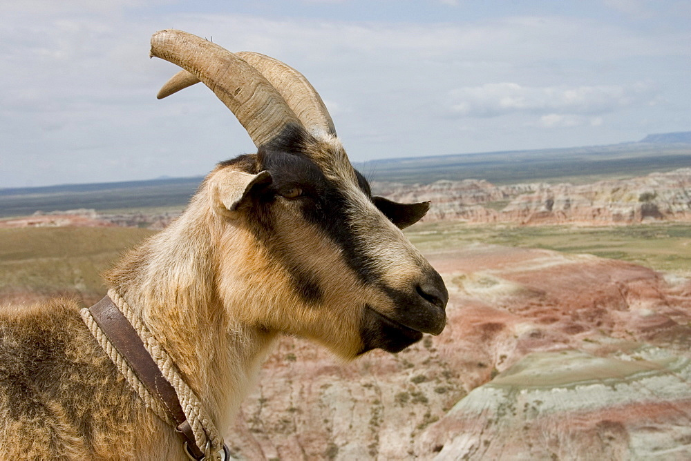 A pack goat surveys the view from a high vantage point in the Red Desert of Wyoming, May 26, 2004. Goat packing is a low impact environmentally friendly way to explore hard to reach locations such as Wyoming's Red Desert.