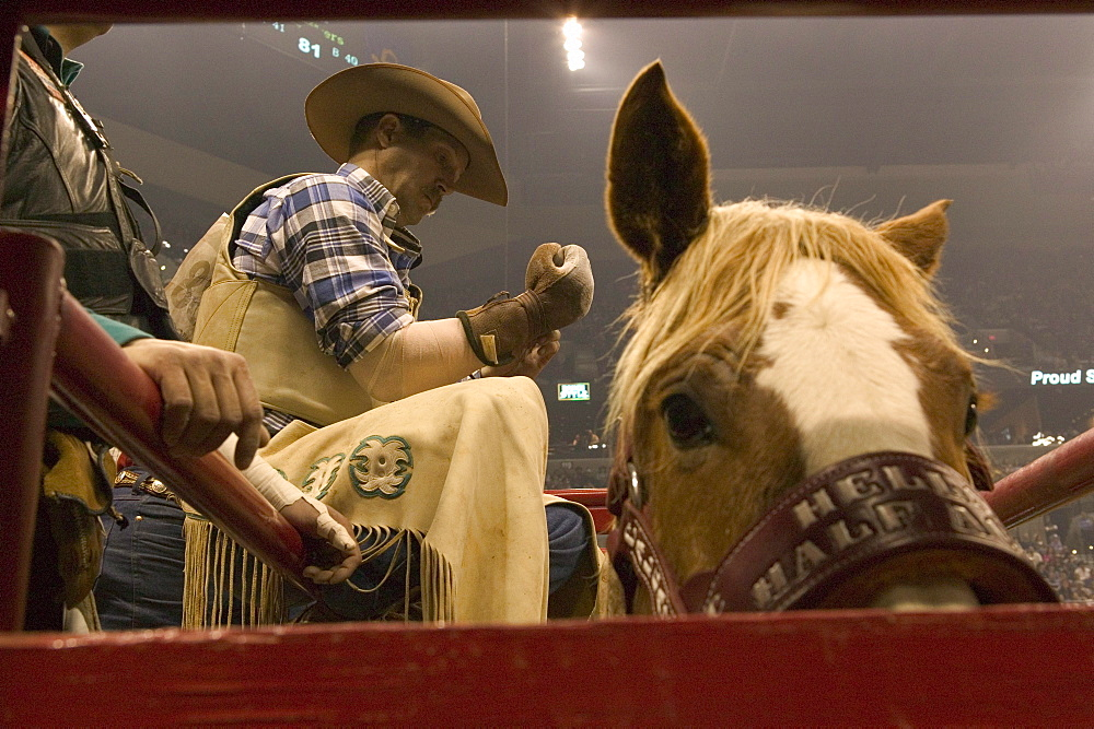 A cowboy rider gets ready for his ride at the San Antonio Rodeo Show.
