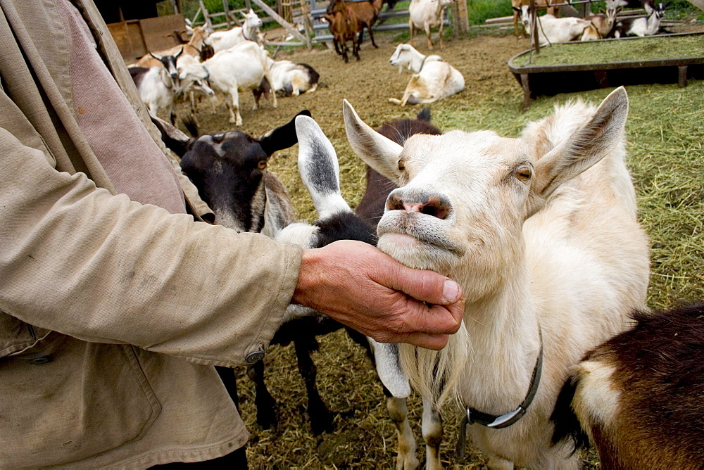 Rick Misterly pets his dairy goats at Quillasascut Cheese Co. in Rice, Washington.