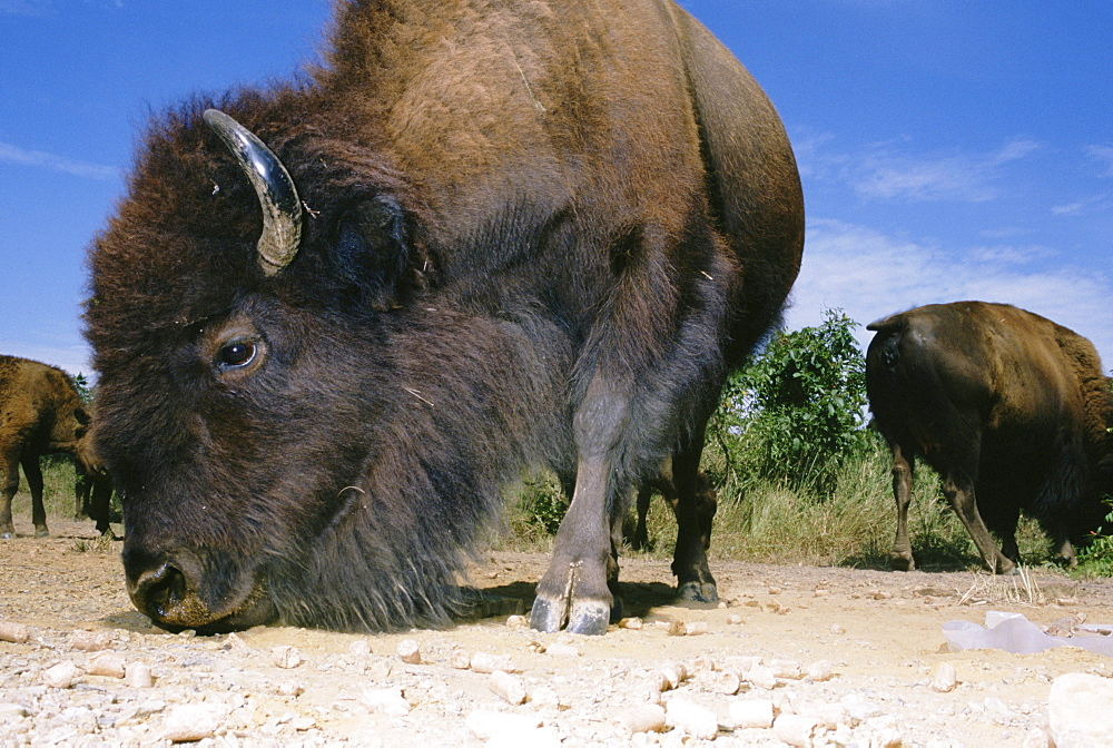 Buffalo at prarie State Park in Kansas graze around a pile of chert brought in by Archeologist Neal Lopinot in an attempt to see whether Buffalo's hoofs could flake chert in a way that could be mistaken for a man made object.  The experiment attempted to recreate the impact a 1500 pound Bison hoof has on a piece of chert.