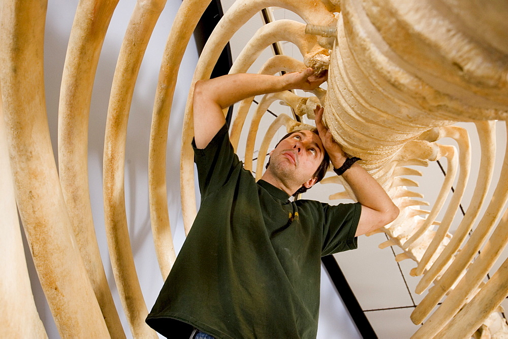 Marine Scientist Dan DenDanto works on the ribs of a 45' sperm whale articulation at the whaling museum in Nantucket.