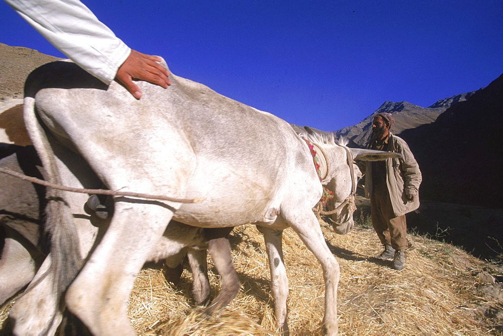 Tajik farmers and their families thresh wheat with oxen and donkeys, in a side valley to the Panjshir Valley, in the  Hindu Kush mountains, September 10, 2002.  Agriculture is primitive and labor intensive in this remote valley. The Panjshir Valley and its side valleys have long been a stronghold for the Tajik people, and the famous commander Ahmed Shah Masood, in their struggle first against the Soviets and then against the Taliban.  The Tajik are one of the larger ethnic groups in Afghanistan, second only to the Pashtun people.