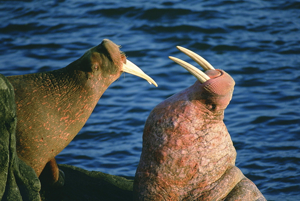 A pair of Pacific walruses (Odobenus rosmarus) joust with ivory tusks on the rocky shore of Walrus Islands State Game Sanctuary on Round Island at Bristol Bay in Alaska's Bering Sea.