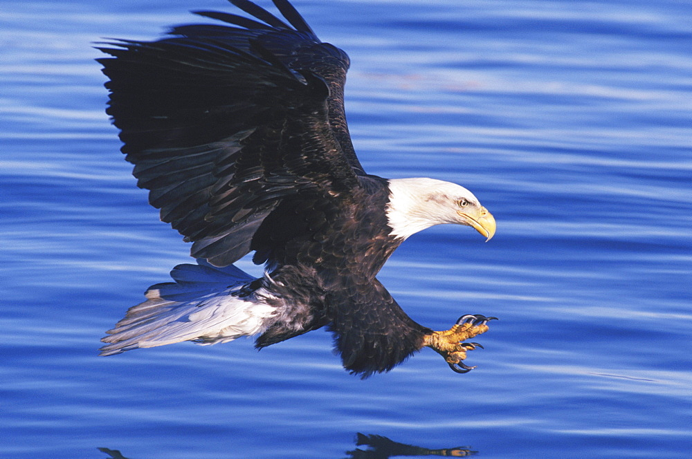 An American bald eagle (Haliaeetus leucocephalus) swoops with open talons to catch a fish in an Alaska lake.