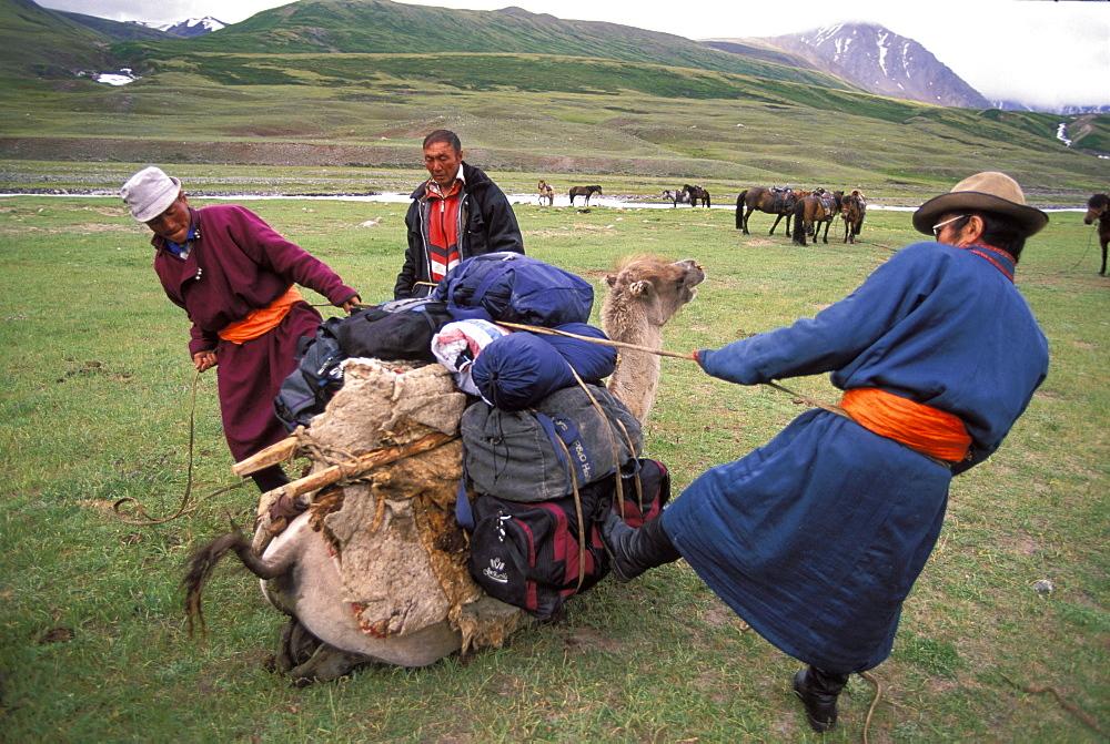 Camel packing, Altai Tavan Bogd National Park, Mongolia