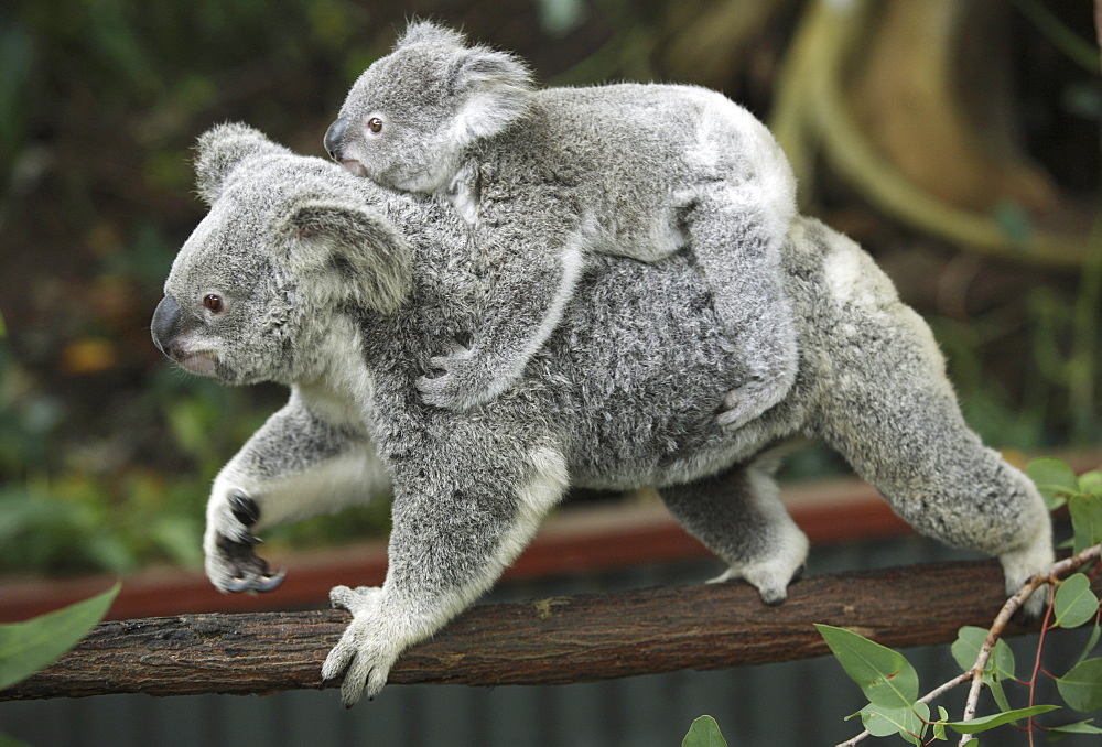 Koala Bears, Phascolarctos cinereus, at a zoo in Kuranda, Australia