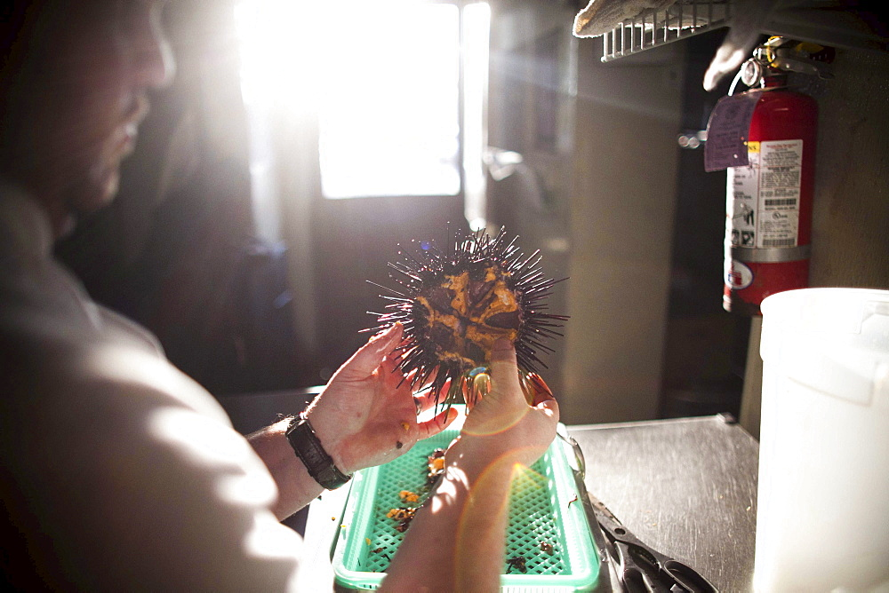 A chef prepares a large sea urchin at the Sea Rocket Bistro restaurant in San Diego,  Ca. The urchin was caught only hours earlier by a San Diego diver,  who personally delivers his catch to various seafood restaurants in the area.