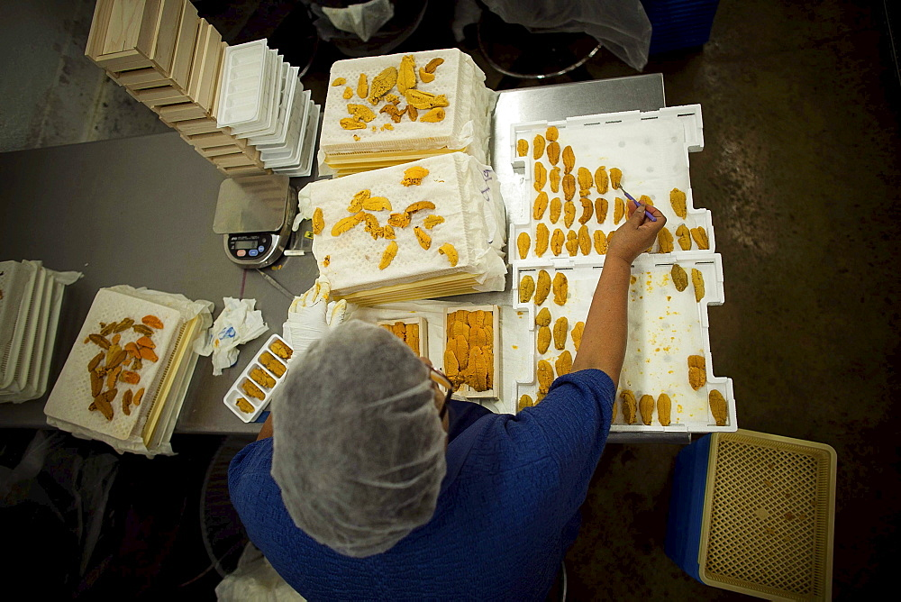 Hispanic workers at Catalina Offshore Products in San Diego,  Ca. inspect,  prepare and clean sea urchin. Urchin meat has a tiny shelf life,  meaning,  the fresh meter starts ticking the minute a diver breaks the surface with a full catch bag. After proce