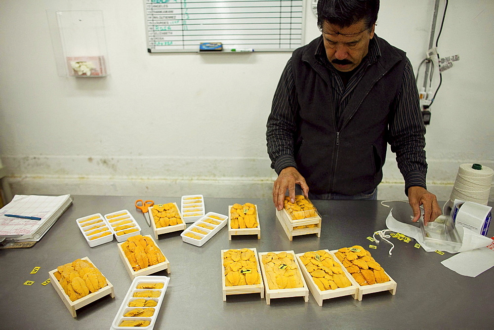 A Hispanic worker at Catalina Offshore Products in San Diego,  Ca. inspects and prepares sea urchin. Urchin meat has a tiny shelf life,  meaning,  the fresh meter starts ticking the minute a diver breaks the surface with a full catch bag. After processing