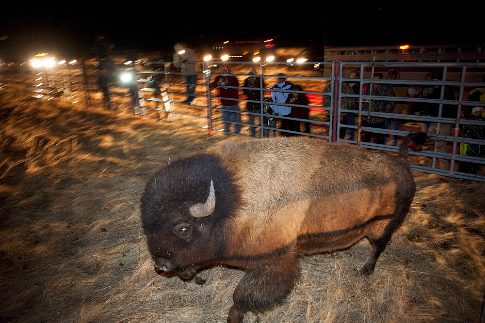 Yellowstone bison are unloaded to a pasture on the Ft. Peck Indian reservation.  The frst time in history Yellowstone bison have returned to the tribes.