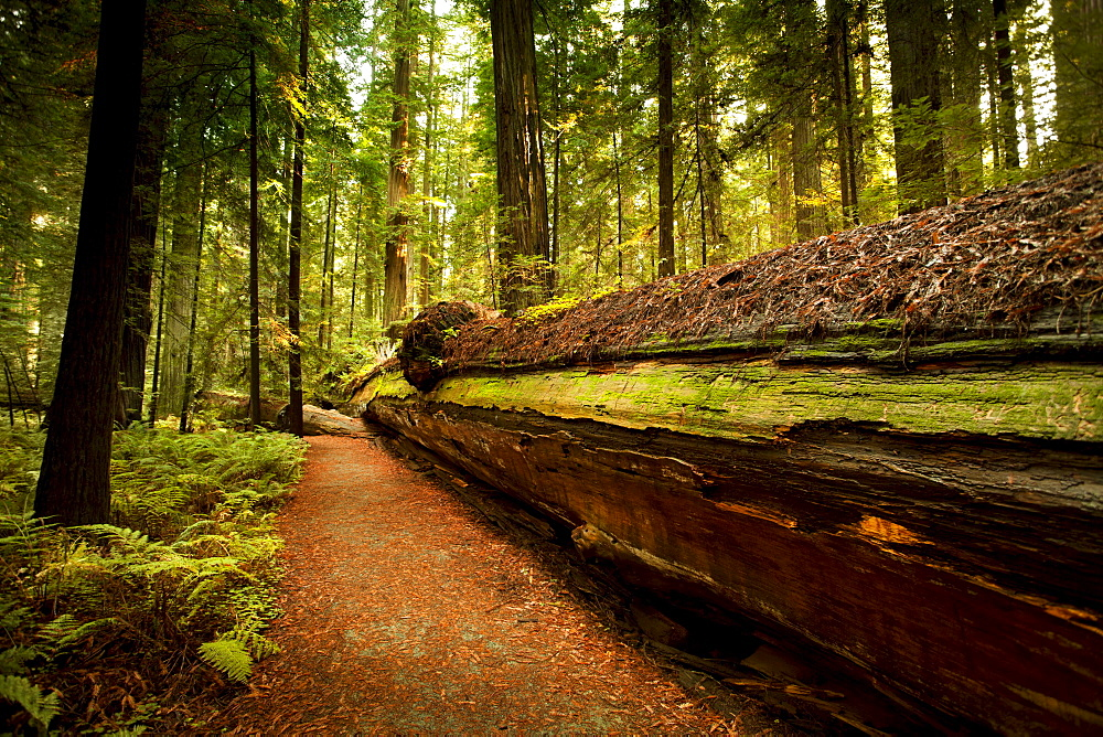 Giant trees and lush forest in Redwoods State National California, USA