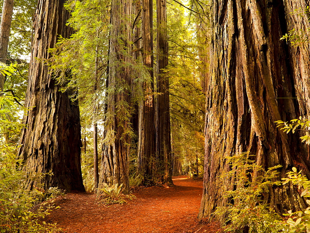 Giant trees and lush forest in the Humboldt Redwoods State Park California, USA