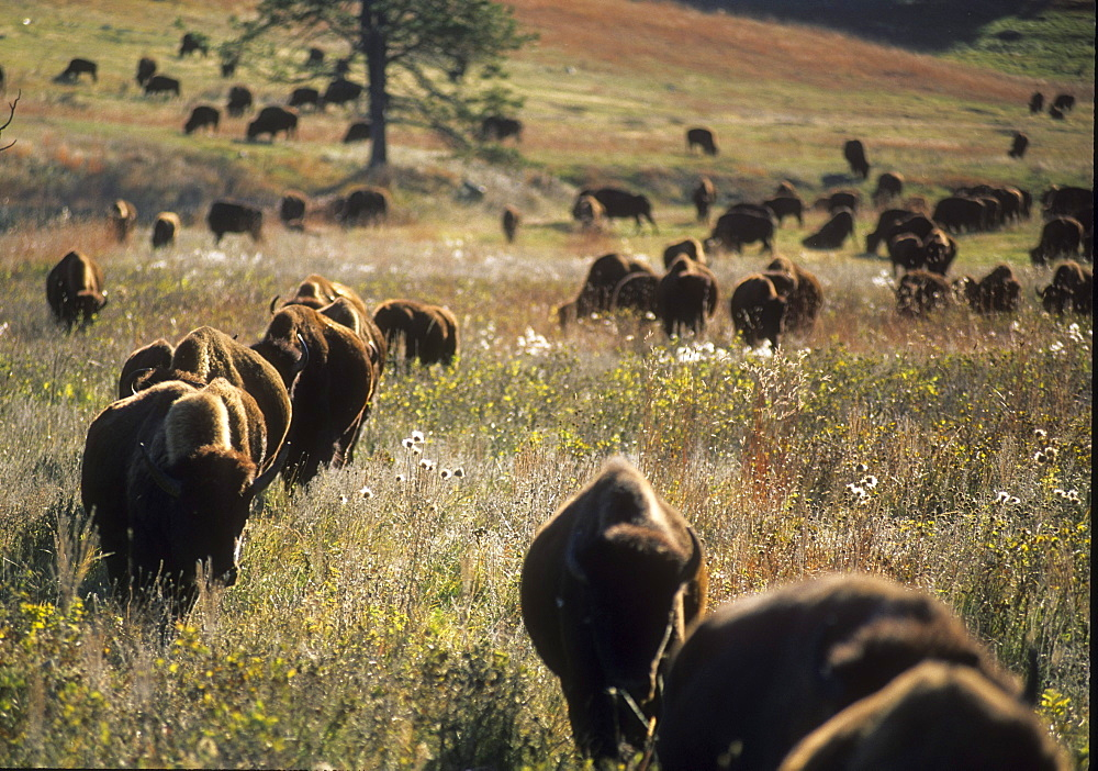 Bison herd in Custer St. Park, SD