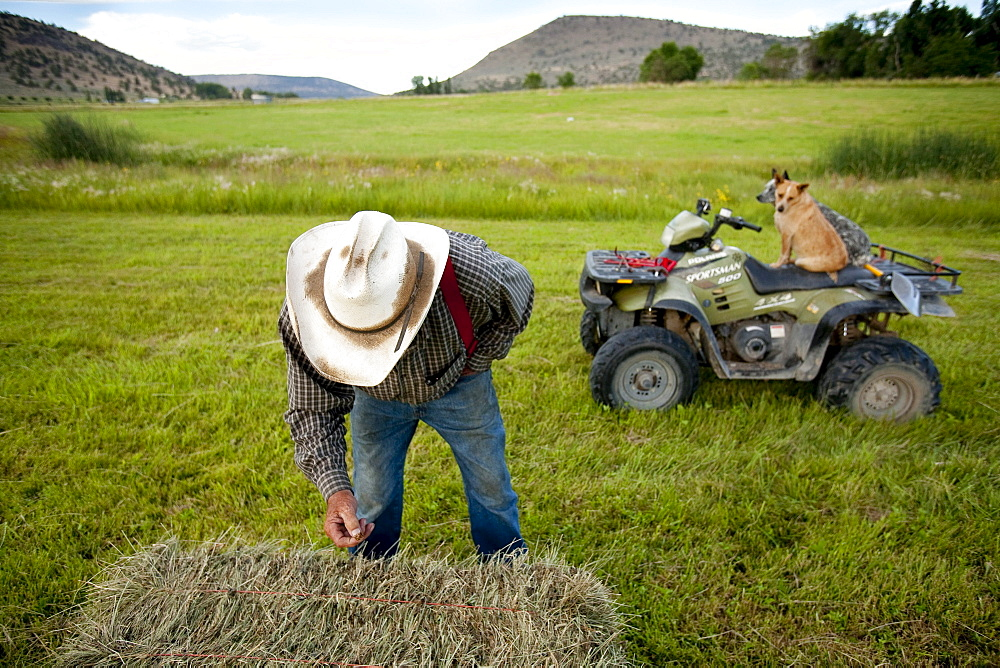A rancher inspects a bale of hay while his dogs watch from atop an ATV on his land in Southern Orregon.