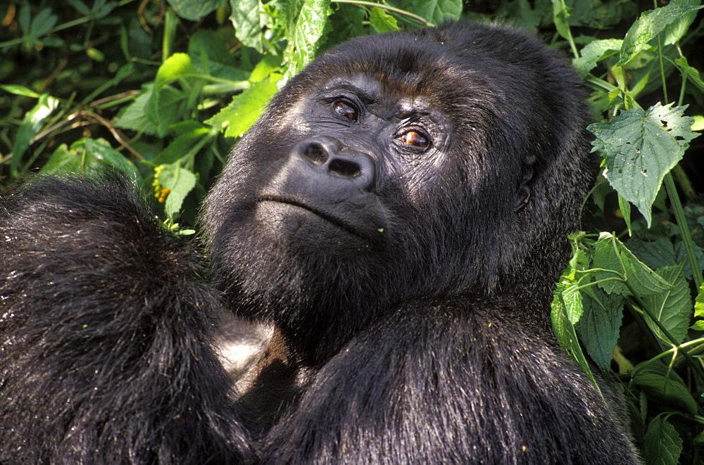 Silverback mountain gorilla in Virunga National Park, Africa
