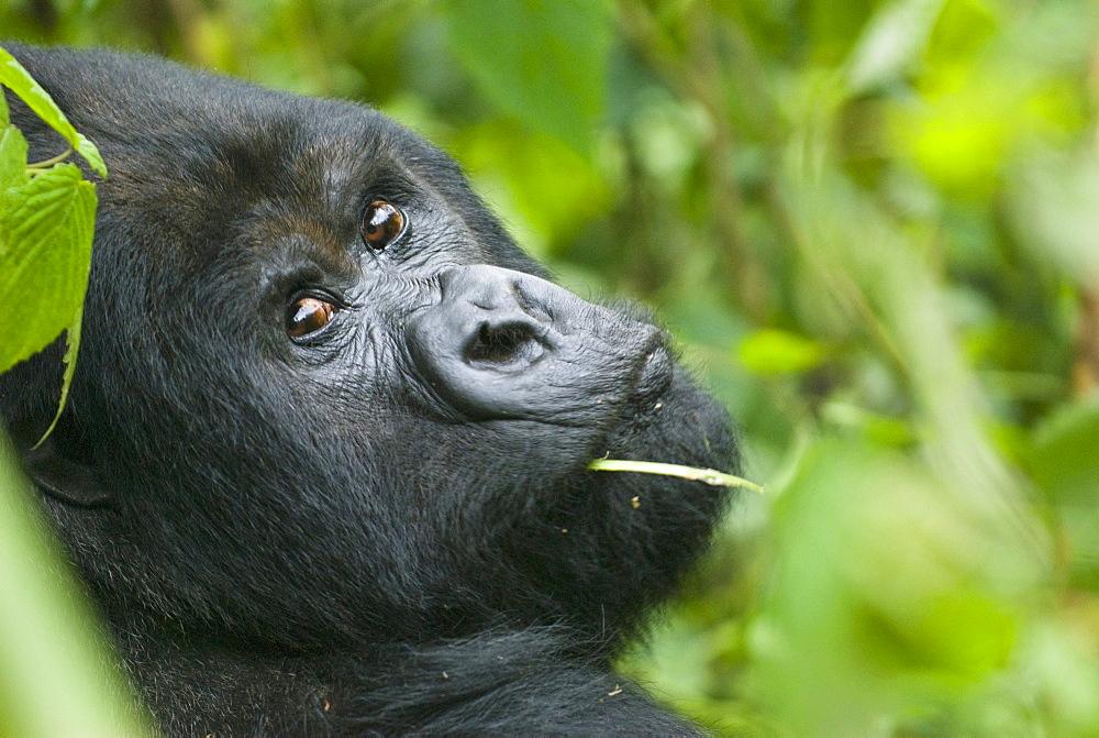Mountain gorilla, adult male, Rwanda