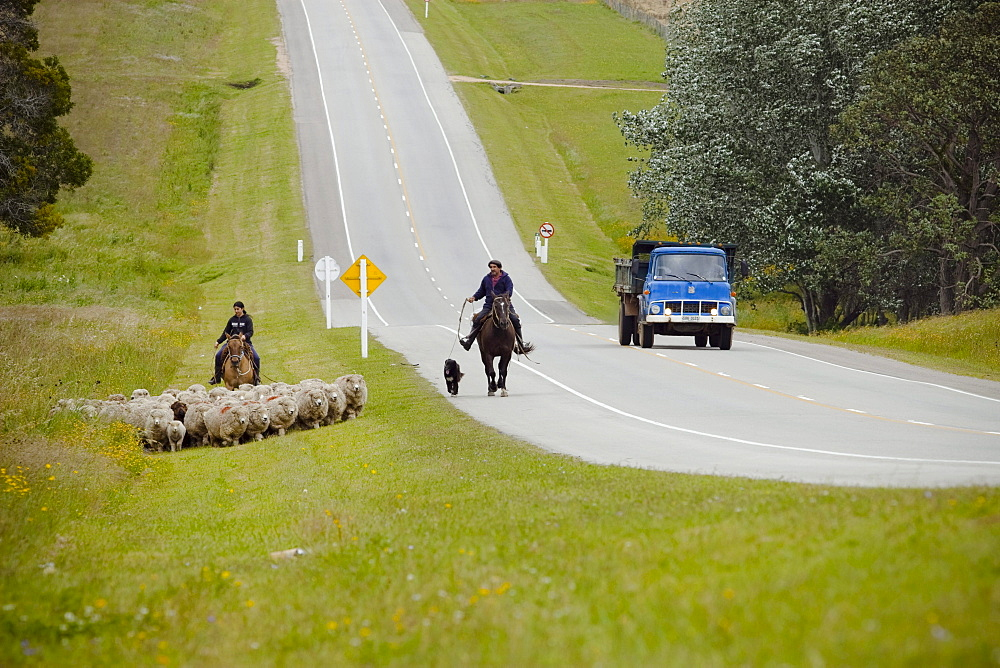 Two people with horses moving a group of sheep next to a road in Uruguay.