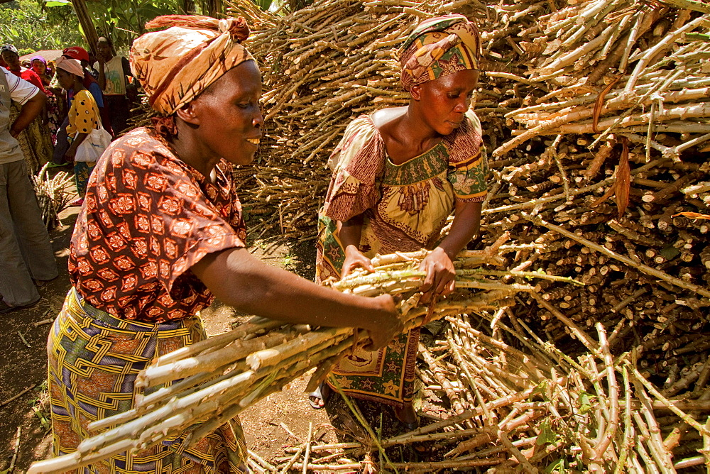 Cassava seed distributed to Congolese farmers.
