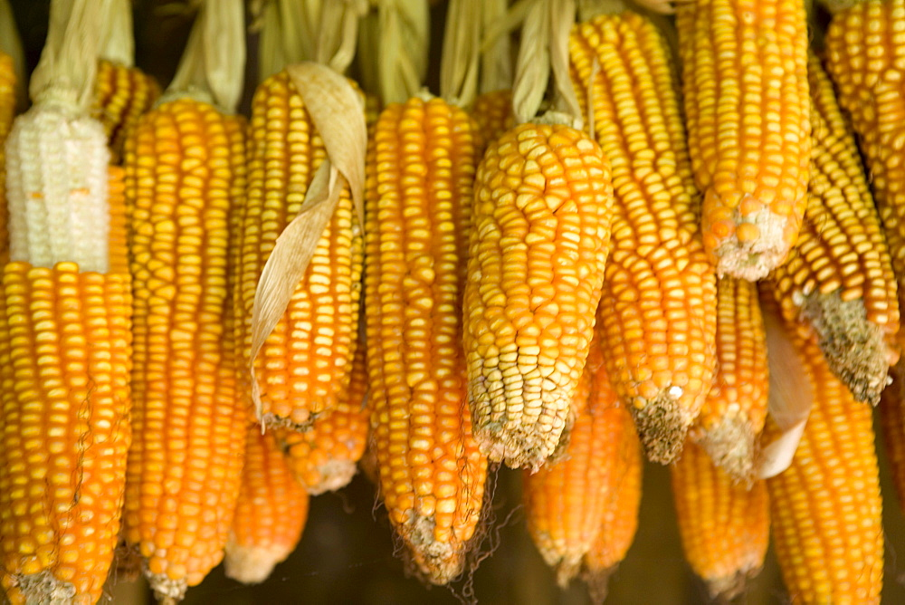 Corn for animal feed grown on a small rural farm that is part of a cooperative of local farmers who grow medicinal herbs and other organic products in and around the small community of Turvo, central Parana state, Brazil.