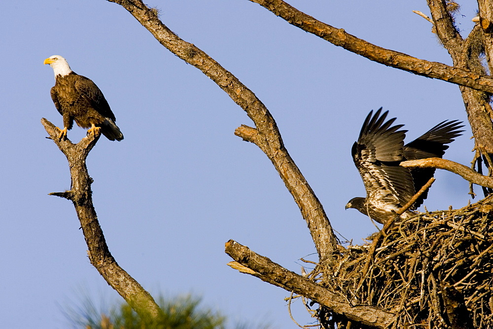 An adult Bald Eagle (Haliaeetus leucocephalus) assumes the sentry position as one of its juviniles prepares to fledge from the nest on the gulf coast of Florida.  The symbol of America was removed from the endangered species list in the lower 48 , a status it has held since 1967, after its numbers increases from just over 400 nesting pair ro about 10,000 in the lower 48.