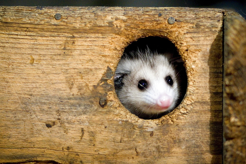 A young opossum peers through the opening of its wooden enclosure at the Center for Wildlife rehabilitation center in York, Maine.