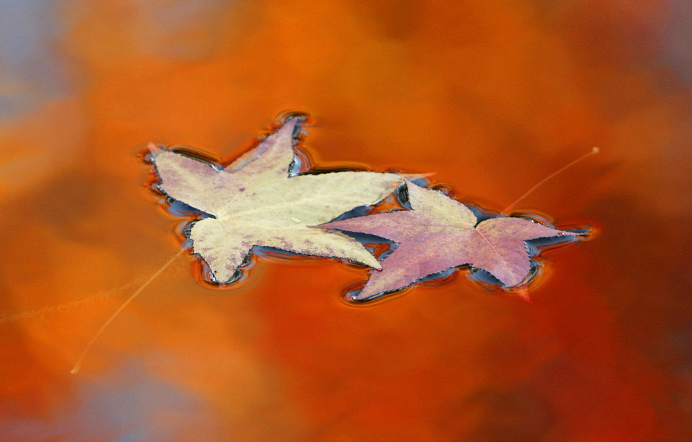 Two fallen leaves commingle as they float in a pond's reflection of the trees they fell from.  Beautiful and vibrant, Autumn's colors are seen in Newcastle, California.