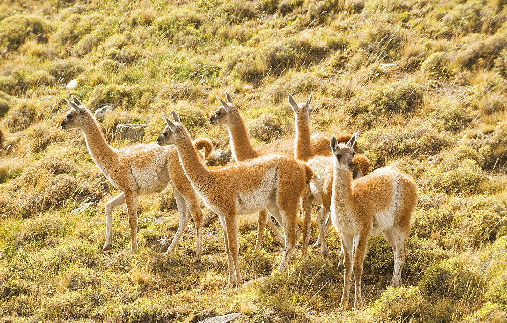 A herd of guanacos walking near the Rio Paine on March 1, 2008 in Las Torres Del Paine National Park, Chile.
