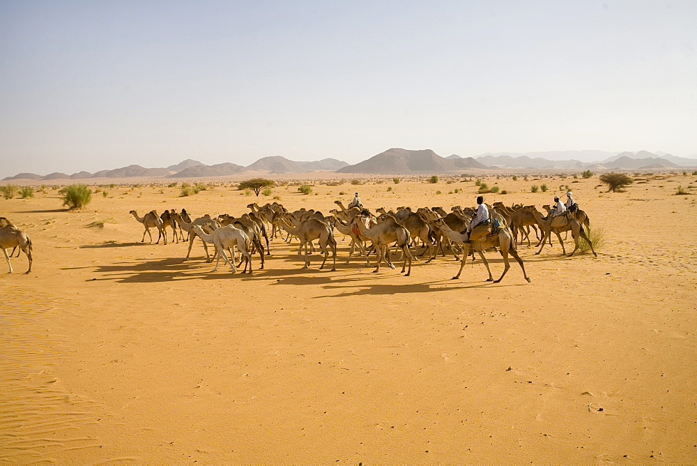 A camel caravan travels through the Sahara Desert, Sudan.150,000 camels travel from Sudanto Egypt yearly to be sold.