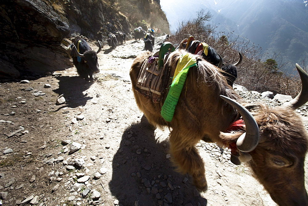 A yak train kicking up dust in Nepal.