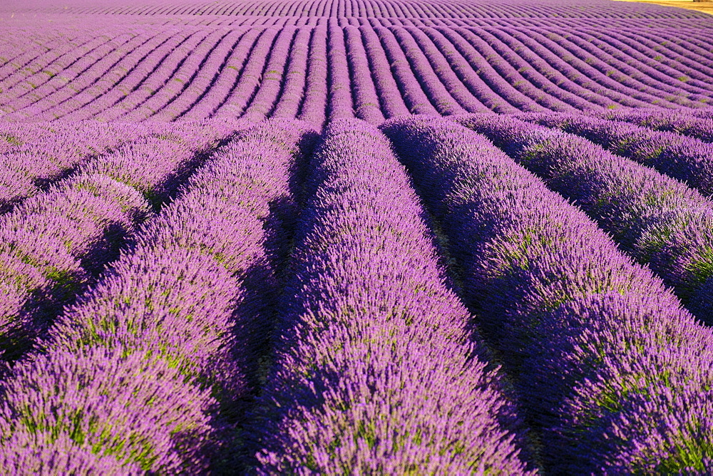 Rows of purple lavender in height of bloom in early July in a field on the Plateau de Valensole near Puimoisson, Provence-Alpes-Côte d'Azur, France, Puimoisson, Provence-Alpes-Côte d'Azur, France