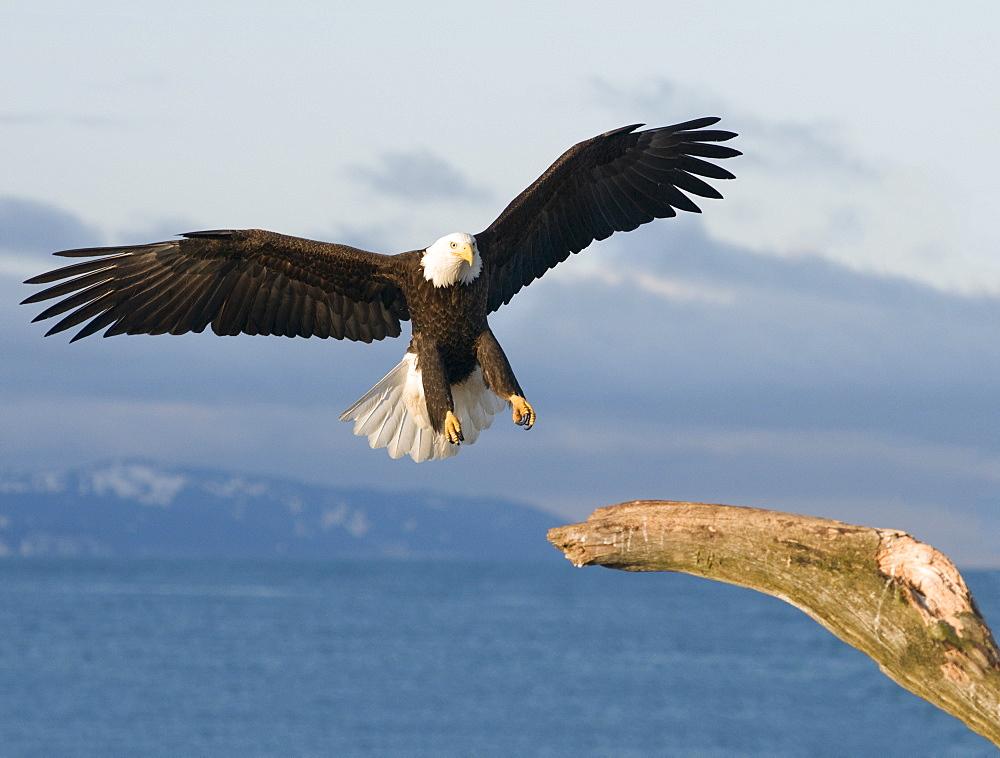 bald eagle (Haliaeetus leucocephalus) landing in dead tree, Homer, Alaska, Homer, Alaska