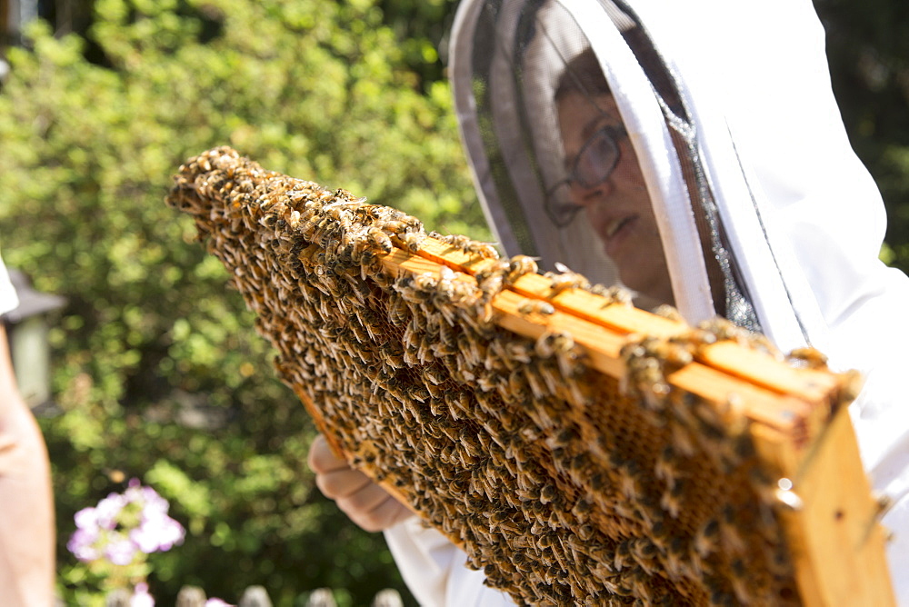 Young woman holding and inspecting a beeswax honeycomb frame crawling with honeybees from a beehive, Huntingdon Valley, Pennsylvania, United States