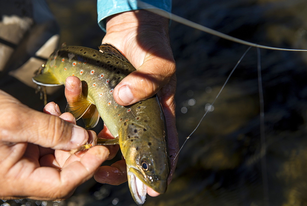 The brook trout shows off its colors before being release back into the creek, Colorado, USA