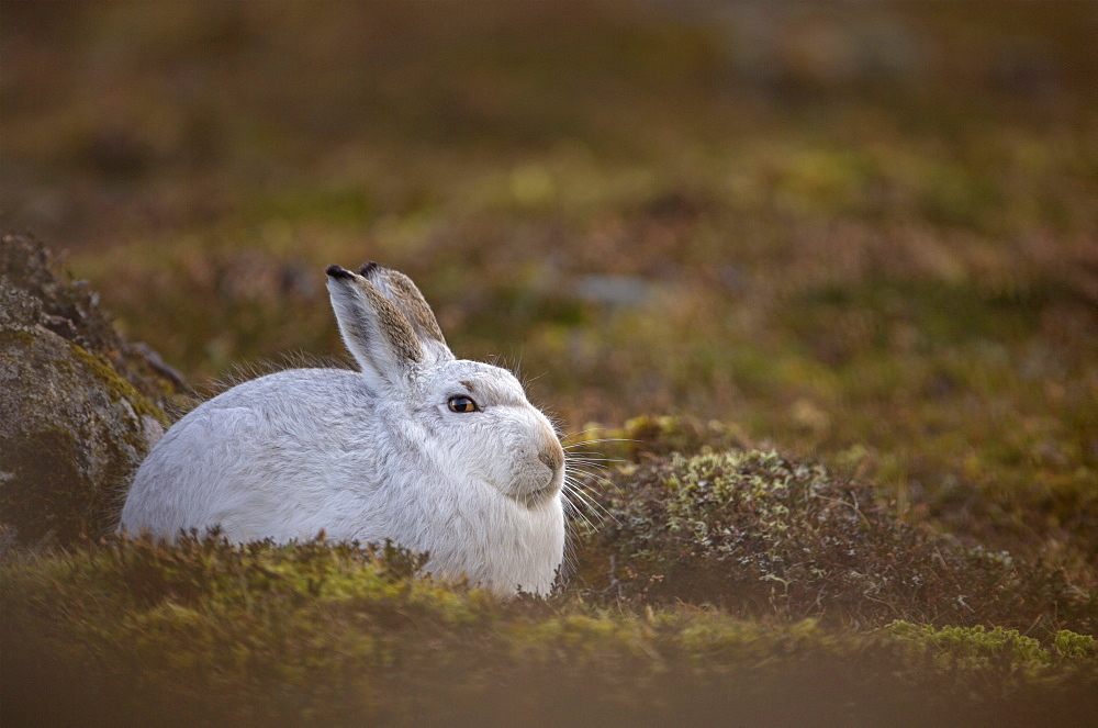 Mountain hare Lepus timidus Close up portrait of an adult in its white winter coat trying to conceal itself against a rock . February. Scotish Mountains, Scotland, UK, Highlands, Cairngorms, Scotland, UK