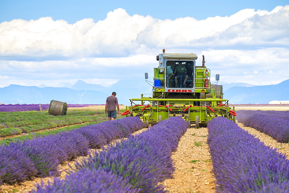 Lavender fields in Provence in height of bloom in early July as workers begin harvesting first rows of Lavender, Plateau de Valensole, Provence-Alpes-Côte d'Azur, France - 857-87060