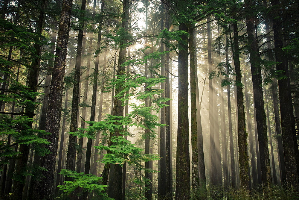 Sun beams shine through a section of second growth forest near Vancouver, B.C.