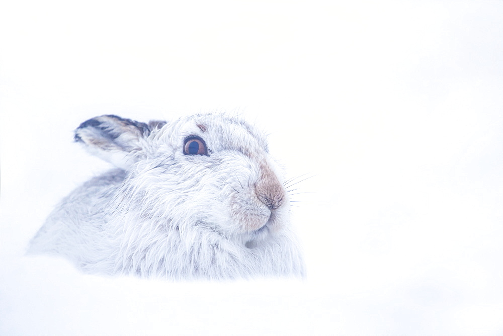 Mountain Hare,Lepus timidus Close up portrait of an adult in its white winter coat trying to conceal itself in the snow. February. Scotish Mountains, Scotland, UK.