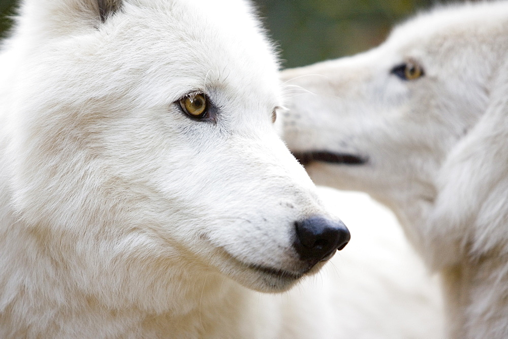 Two white wolves have mated for life after having been rescued (captivity).