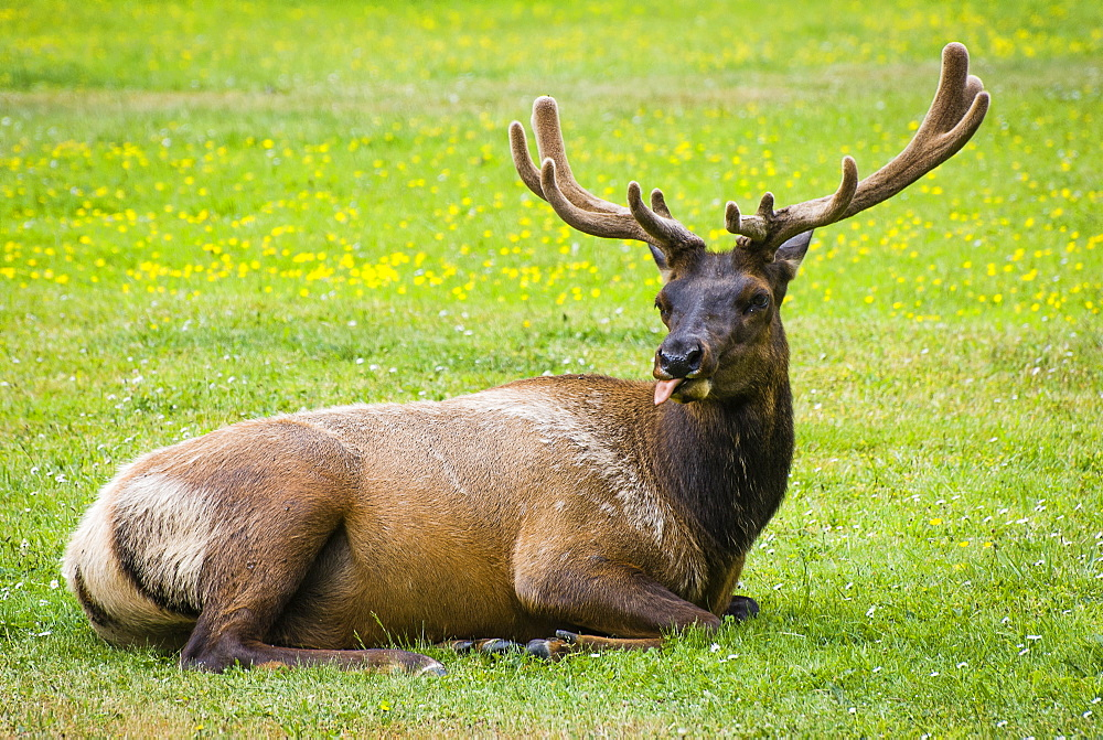 Elk laying down in green field sticks out tongue,  Redwood National Park, California