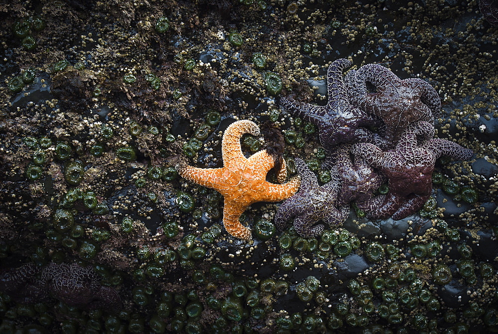 Orange sea star next to group of purple sea stars on tidepool rock, Indian Beach, Ecola State Park, Oregon