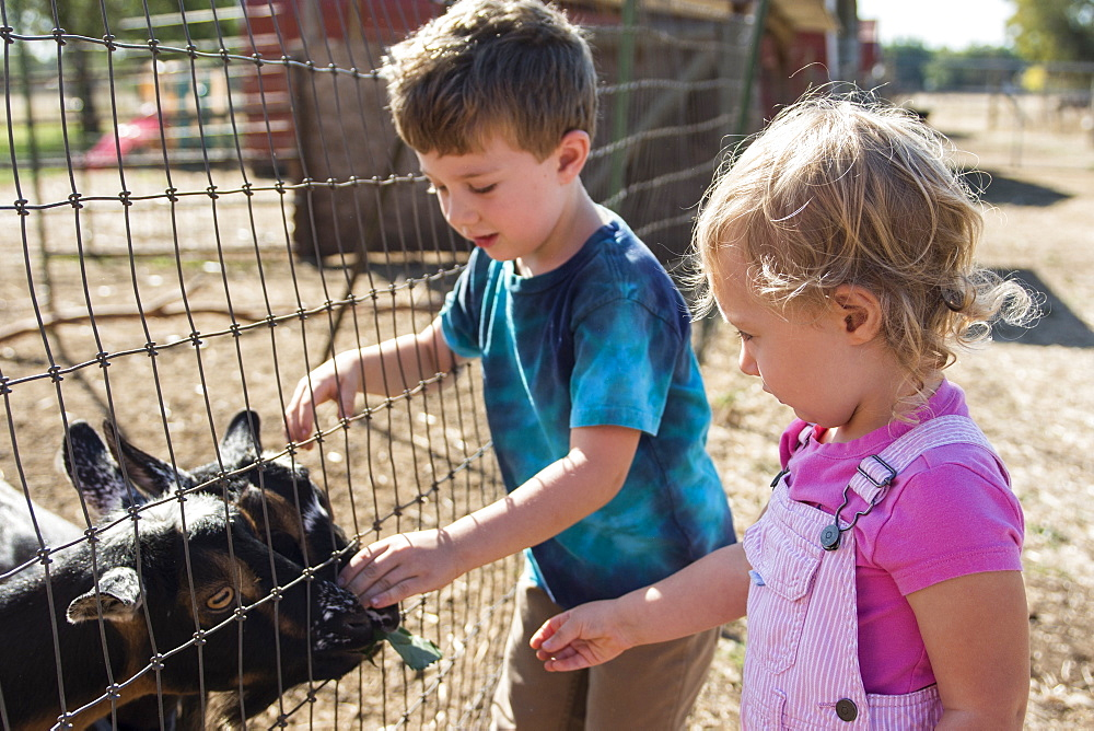 Toddler boy and girl feed goats on local farm in Chico, California.