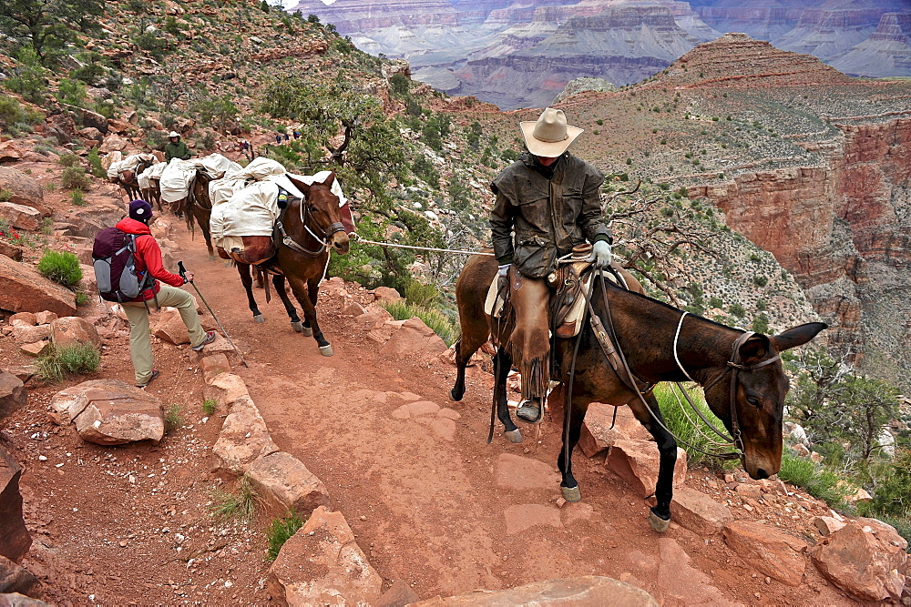Female hiker waits for pack horses to pass on the South Kaibab Trail in Grand Canyon National Park north of Williams, Arizona May 2011.  The South Kaibab Trail starts on the south rim of the Colorado Plateau and follows a ridge out to Skeleton Point allowing for 360-degree views of the canyon then down to the Colorado River.  At the Colorado River the trail connects with the North Kaibab trail as part of the Arizona Trail system, that crosses the state of Arizona from Mexico to Utah. - 857-89692